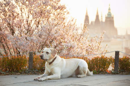 Yellow labrador retriever in park, Prague photo