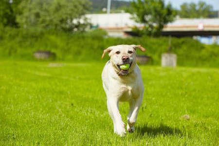 obediencia: Labrador retriever amarillo en la pradera