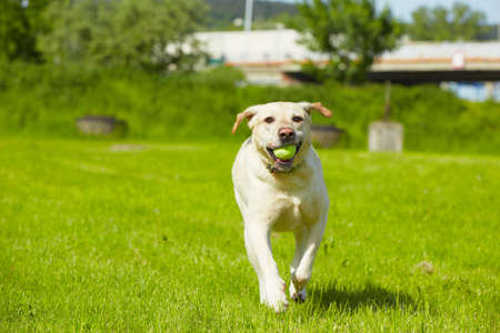 Yellow labrador retriever on meadow
