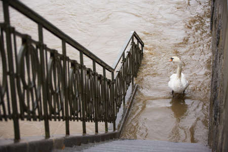 Flood in Prague - swan on the street Imagens