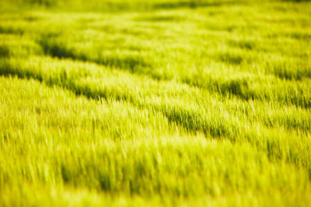 Wheat field - summer in the Czech Republic  photo