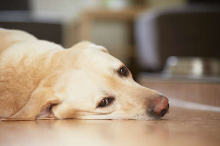 Yellow Labrador Retriever ist zu Hause wartet