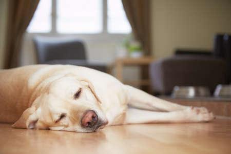 黄色いラブラドル ・ レトリーバー犬は自宅待機しています。