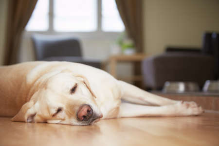Yellow labrador retriever is waiting at home