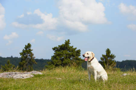 Yellow labrador retriever in summer landscape photo