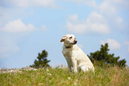 Yellow Labrador Retriever in Sommerlandschaft