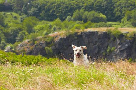perro corriendo: Labrador retriever amarillo en la pradera de verano Foto de archivo