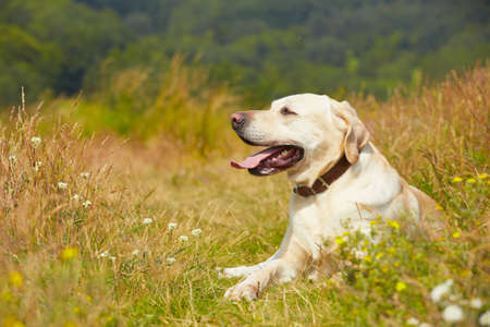 Yellow labrador retriever on the summer meadow photo