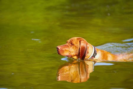 sporting activity: Hungarian vizsla is swimming - copy space