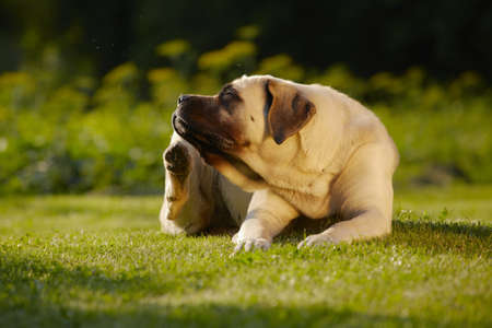 scratching: Mastiff is scratching behind his ear - copy space