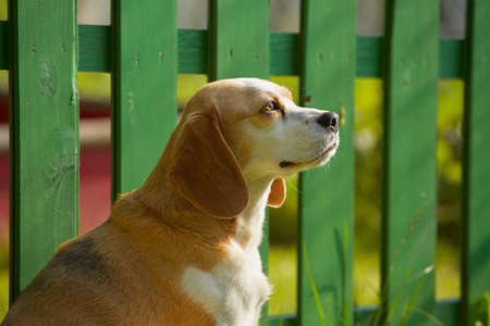 Beagle is waiting in front of the wooden fence  photo