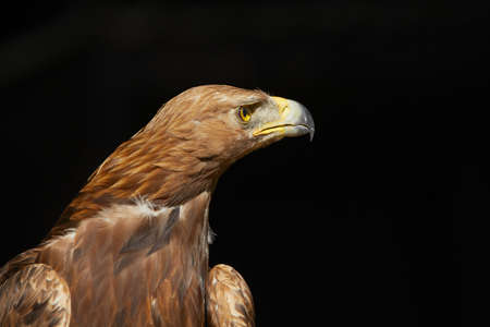 Golden Eagle on black background - copy space photo