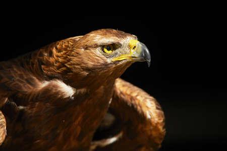 aigle royal: Golden Eagle sur fond noir - copie espace Banque d'images