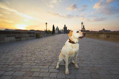lost city: Sunrise in Prague - yellow labrador retriever is waiting on Charles Bridge Stock Photo