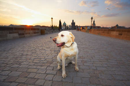 Sunrise in Prague - yellow labrador retriever is waiting on Charles Bridge photo