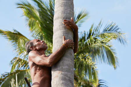 agriculture sri lanka: Man is climbing up to palm tree for harvest coconut  Stock Photo