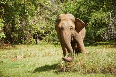 Elephant in the wild nature in Sri Lanka Stock Photo - 22436489