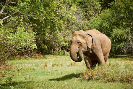 wild asia: Elephant in the wild nature in Sri Lanka