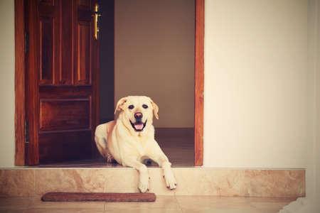 ラブラドル ・ レトリーバー犬、家のドアに横たわっています。