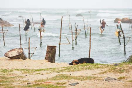 galle: Dog lying near Galle in Sri Lanka.   Stock Photo
