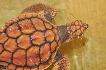 baby turtle: Baby turtle is swimming in Turtle Hatchery - Sri Lanka