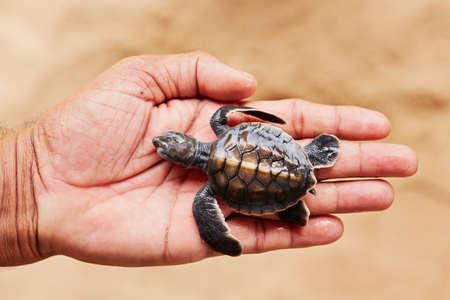 hatchery: Two days old turtle on the human palm in Turtle Hatchery - Sri Lanka Stock Photo
