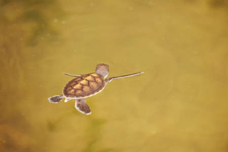 Baby turtle is swimming in Turtle Hatchery - Sri Lanka photo