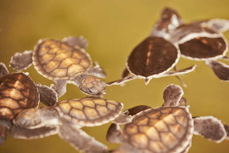 Baby turtles is swimming in Turtle Hatchery - Sri Lanka photo