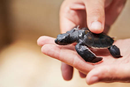 Three days old turtle on the human palm in Turtle Hatchery - Sri Lanka photo