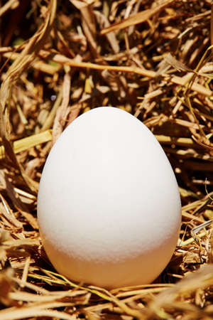 One chicken egg in straw - copy space photo