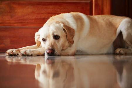 Labrador retriever ligt binnen van het huis