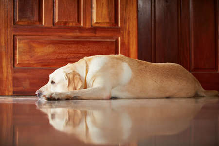 peacefully: Labrador retriever is lying in door of the house