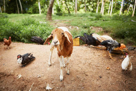 Goat and chickens in the farm - selective focus photo
