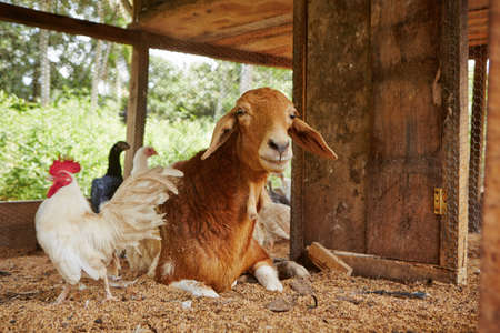 the hutch: Friends - rooster and goat in the farm
