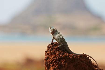 assimilation: Chameleon in Yala National Park in Sri Lanka