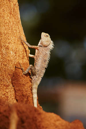 assimilation: Chameleon on the tree - Sri Lanka Stock Photo