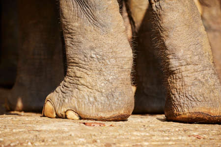vertrappen: Close up view of the elephant legs - Sri Lanka.