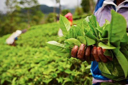 Manos de las mujeres de la plantación de té - Sri Lanka Foto de archivo - 23129938