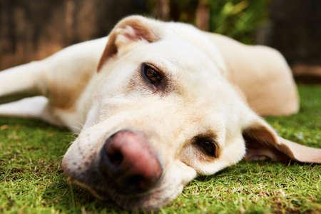 sad dog: Yellow labrador retriever is lying on the grass - selective focus Stock Photo
