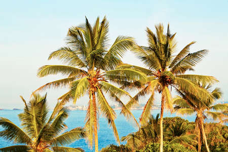 galle: Idyllic morning - Coconut trees near Galle in Sri Lanka