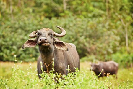 Cows of water buffalo on the meadow in Sri Lanka  photo