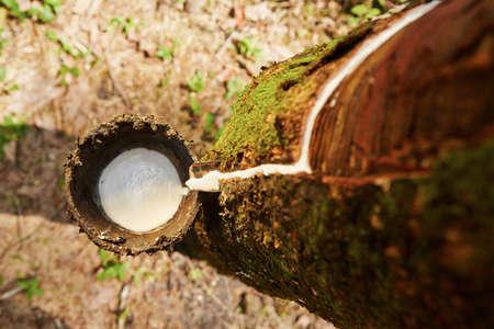 スリランカのゴムの木から樹液をタップ