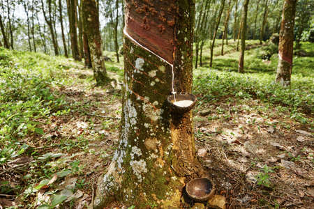 rubber plant: Tapping sap from the rubber tree in Sri Lanka
