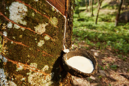 Tapping sap from the rubber tree in Sri Lanka photo