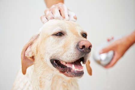 Labrador retriever está tomando una ducha en su casa. Foto de archivo