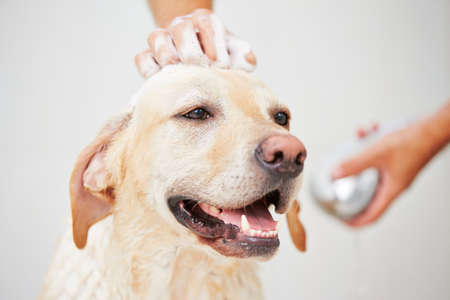 Labrador retriever is taking a shower at home. Stock Photo