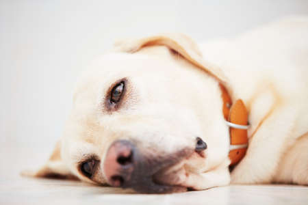 Sad labrador retriever is lying down on floor. Banco de Imagens