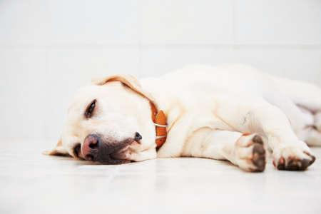 Ziek labrador retriever is liggend op de vloer.
