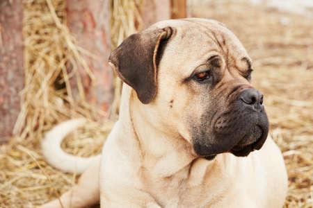 cane corso: Ritratto di canna cane corso in azienda