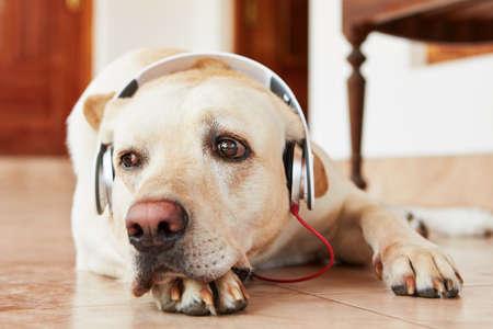 Labrador retriever is resting and listening music.